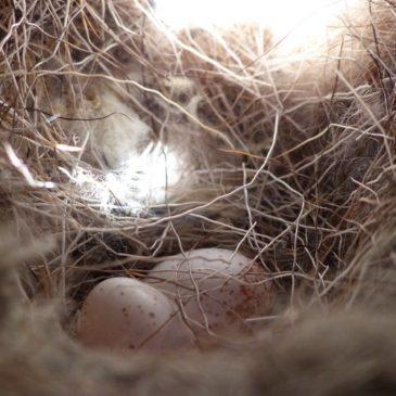 Les premiers œufs sont là !
