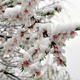 Amandier en fleur, sous la neige © Rafel Miro via flikr