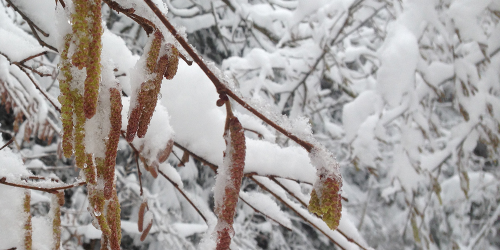 Fleurs de noisetiers sous la neige © CREA Mont-Blanc