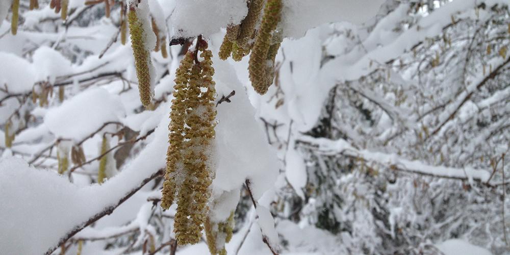 Fleur de noisetier sous la neige © CREA Mont-Blanc