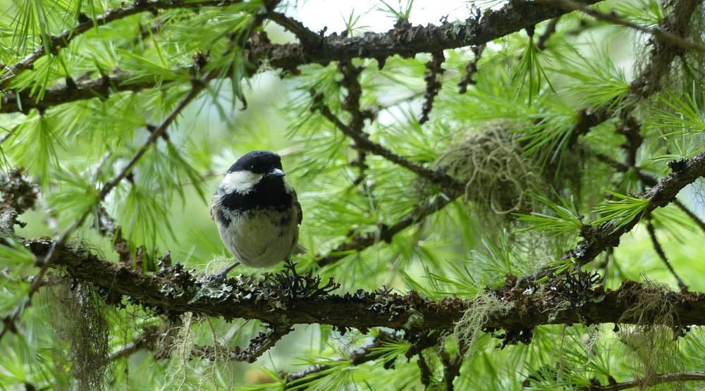 Mésange adulte observée à côté de son nid