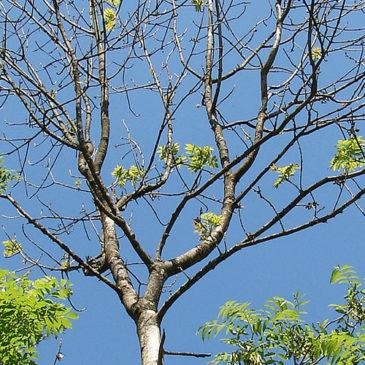 Zoom sur la chalarose du frêne