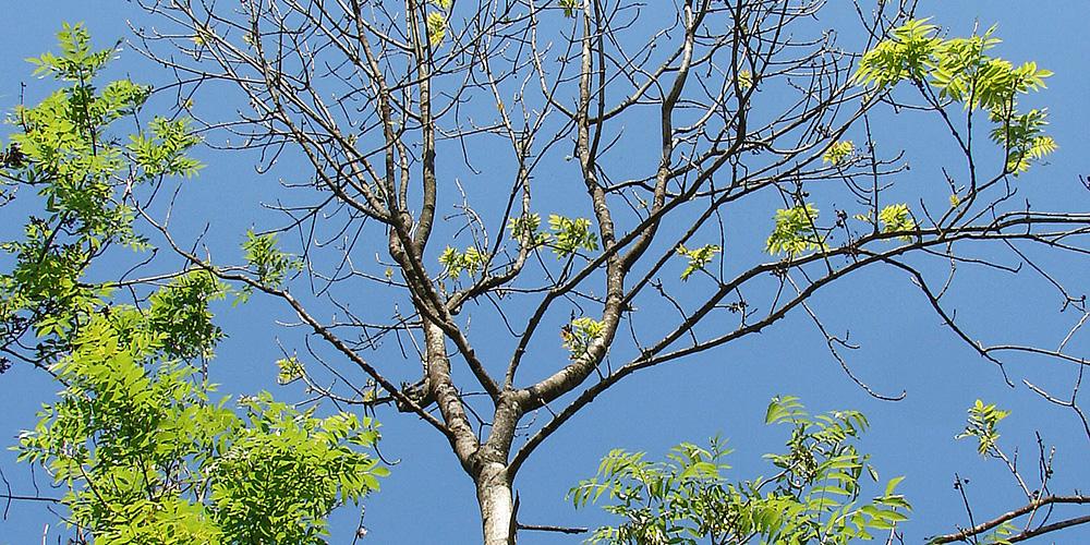 Ce frêne atteint de flétrissement est reconnaissable au dépérissement marqué de ses rameaux © Protection de la forêt suisse (WSL)