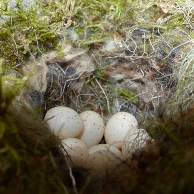 Les oeufs de la mésange noire du nichoir 40 - un oeuf pondu par jour © CREA Mont-Blanc
