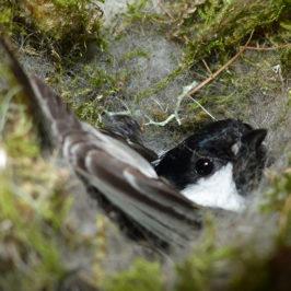 Mésange noire dans son nid - suivi de la reproduction des mésanges noires à Loriaz, sur les hauteurs de Chamonix © CREA Mont-Blanc