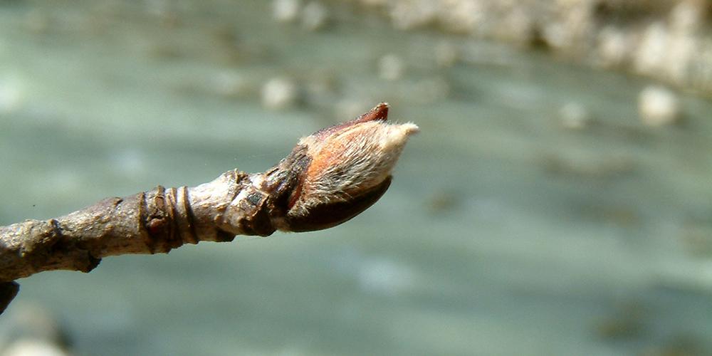 Bourgeon de sorbier © CREA Mont-Blanc