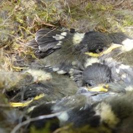 Poissins de mésange noire au nid © CREA Mont-Blanc