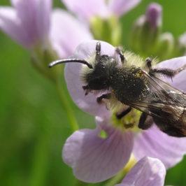 Pollinisation et abeilles sauvages