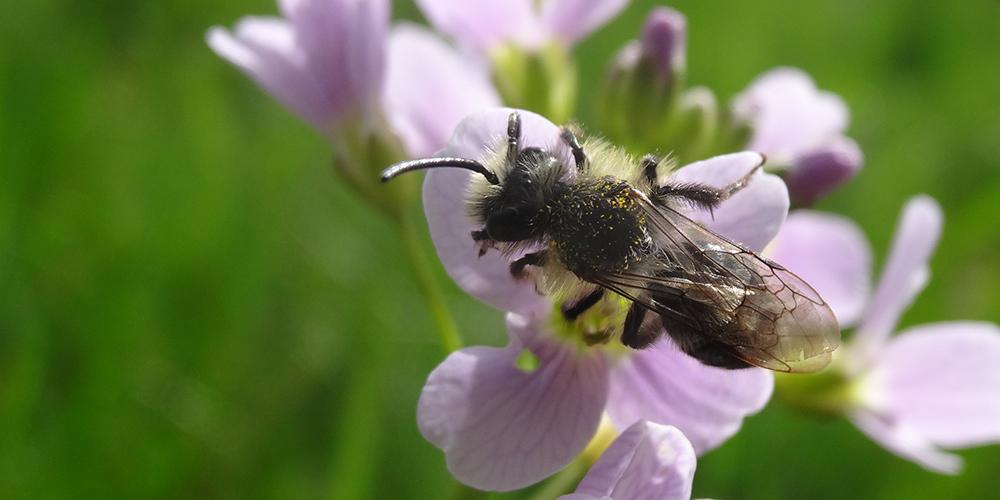 Abeille sauvage Andrena cineraria sur une fleur de Cardamine © CVanReeth