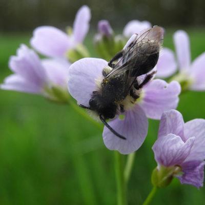 Abeille sauvage Andrena cineraria sur une fleur de Cardamine des prés © CVanReeth