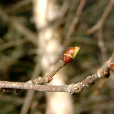 Dormance et changement climatique chez les arbres