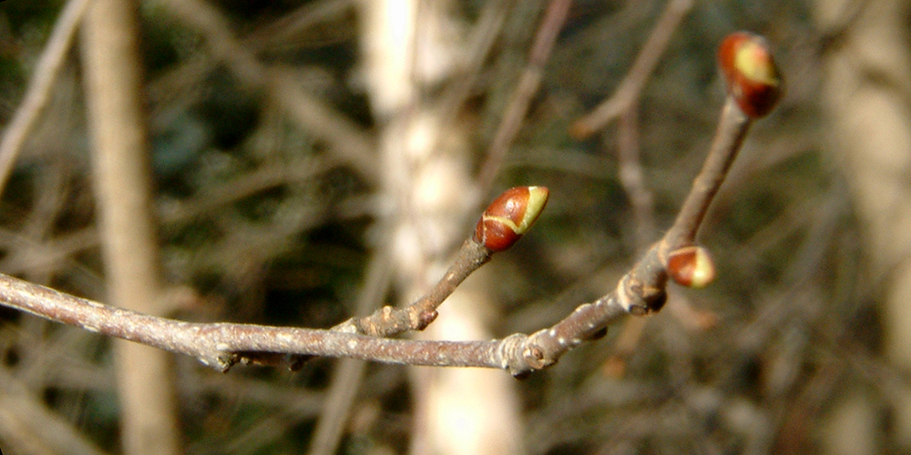 Climate change and dormancy periods in trees