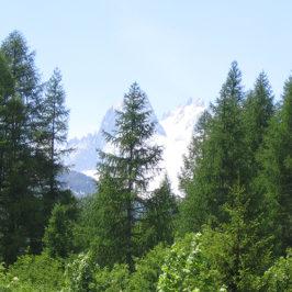 Le mélèze est une espèce remarquable d'altitude, suivies dans le cadre du programme Phénoclim © CREA Mont-Blanc