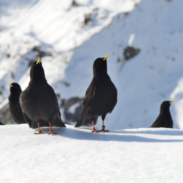 May & June: Tough months for lady choughs