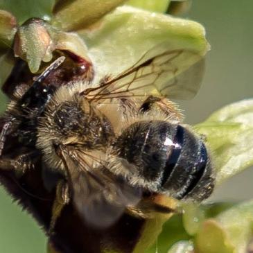 Pollinisation de l'Ophrys araignée : quand le climat s'en mêle