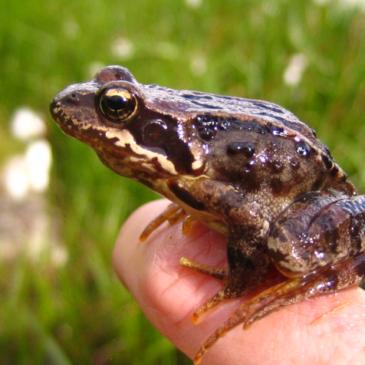 Les grenouilles rousses, de la plaine aux sommets.