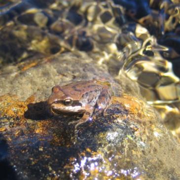 Impact du changement climatique sur la vulnérabilité de la grenouille rousse