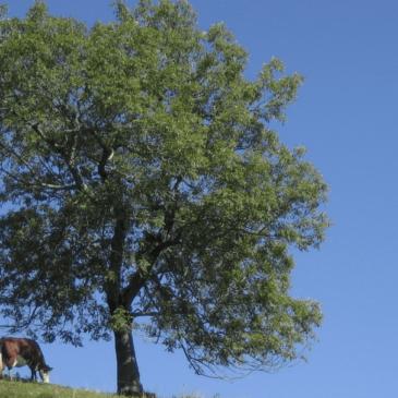 Le frêne, une espèce en transition ?